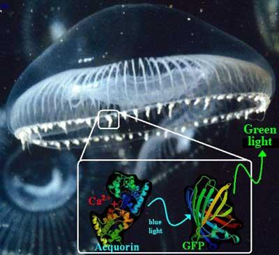 Nobel de Química para el trío que extrajo el valor biomédico de las medusas.