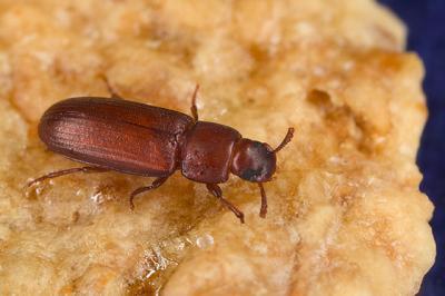 Los escarabajos homosexuales