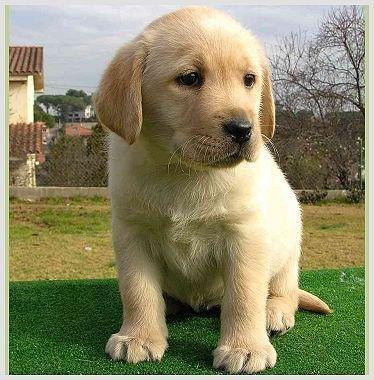 El primer perro clonado comercialmente ya está en casa con sus dueños
