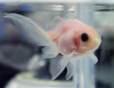 Científicos crean un pez transparente con todos sus órganos a la vista